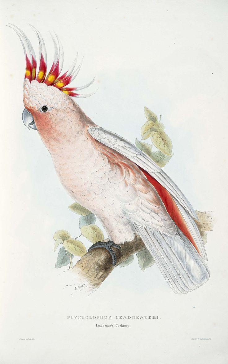 Edward Lear, ornithological illustration.