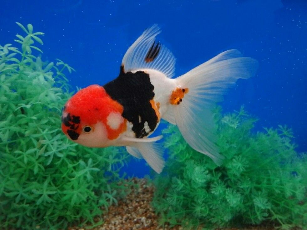 Tri Color Oranda Pet Fish Goldfish Goldfish Types