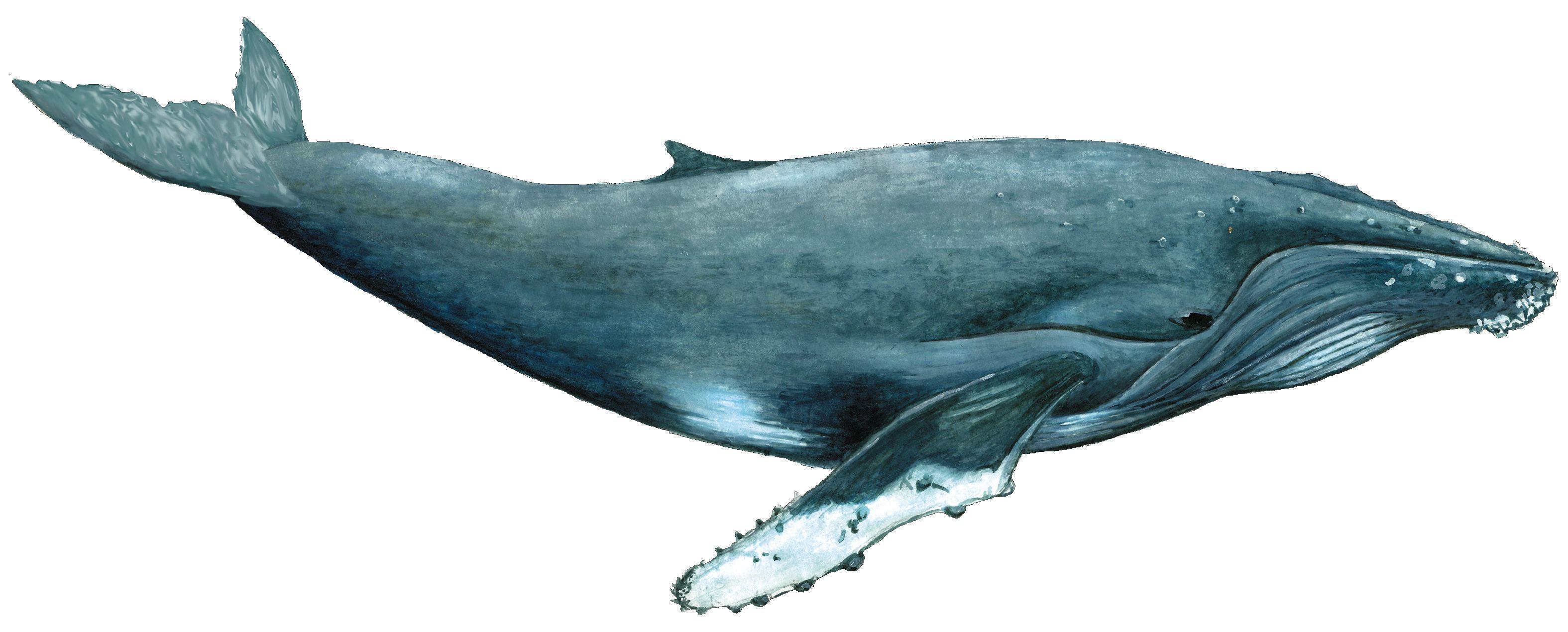 ballena jorobada, megaptera novaengliae   Animales   Pinterest ...