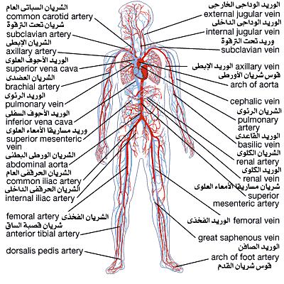 تعرف على أعضاء جسم الإنسان باللغة الفرنسية Les Organes Du Brachial Carotid Artery Vena Cava