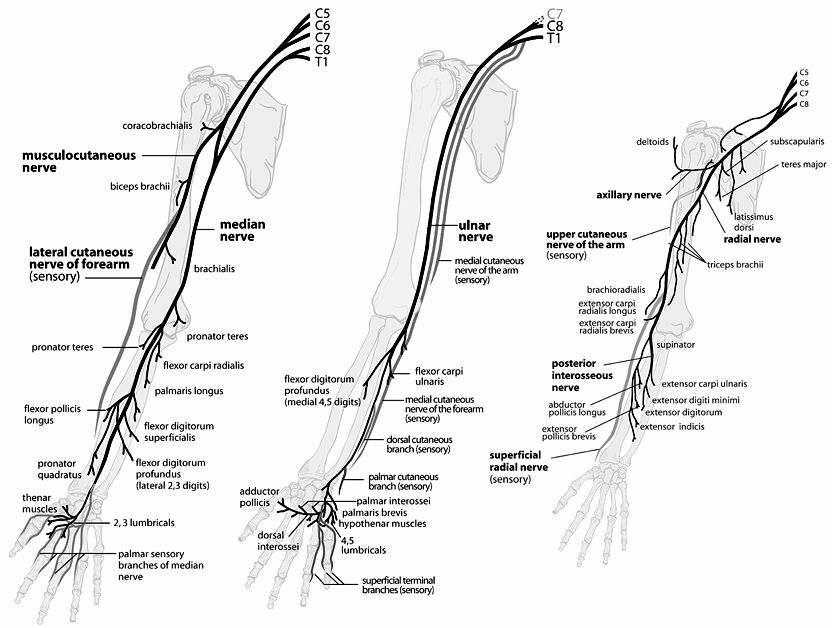 upper extremity nerve anatomy | Peripheral Nerves of the Upper ...