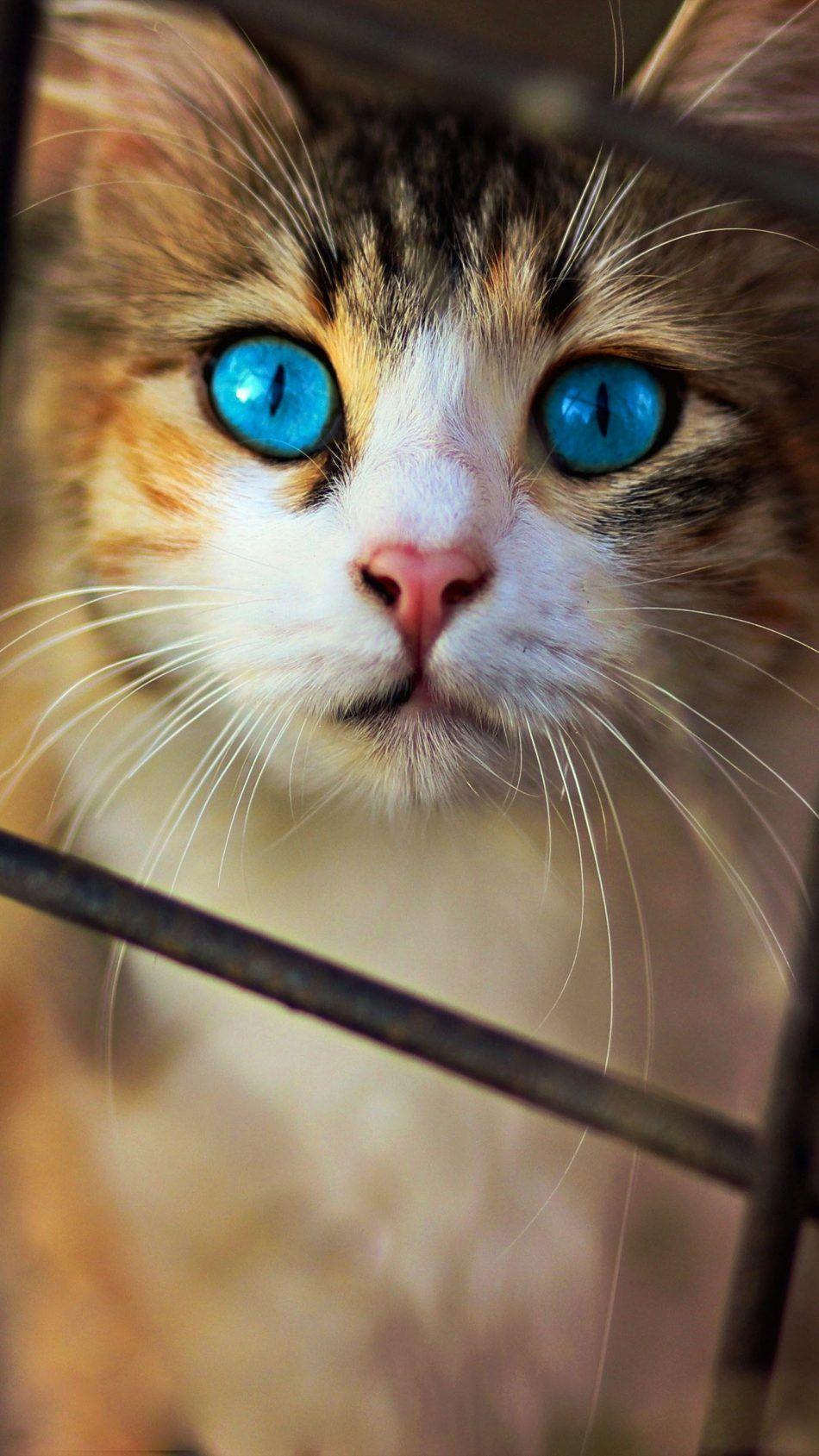 Cute Cat Blue Eyes 4k Ultra Hd Mobile Wallpaper Cute Cats Cat With Blue Eyes Beautiful Cats
