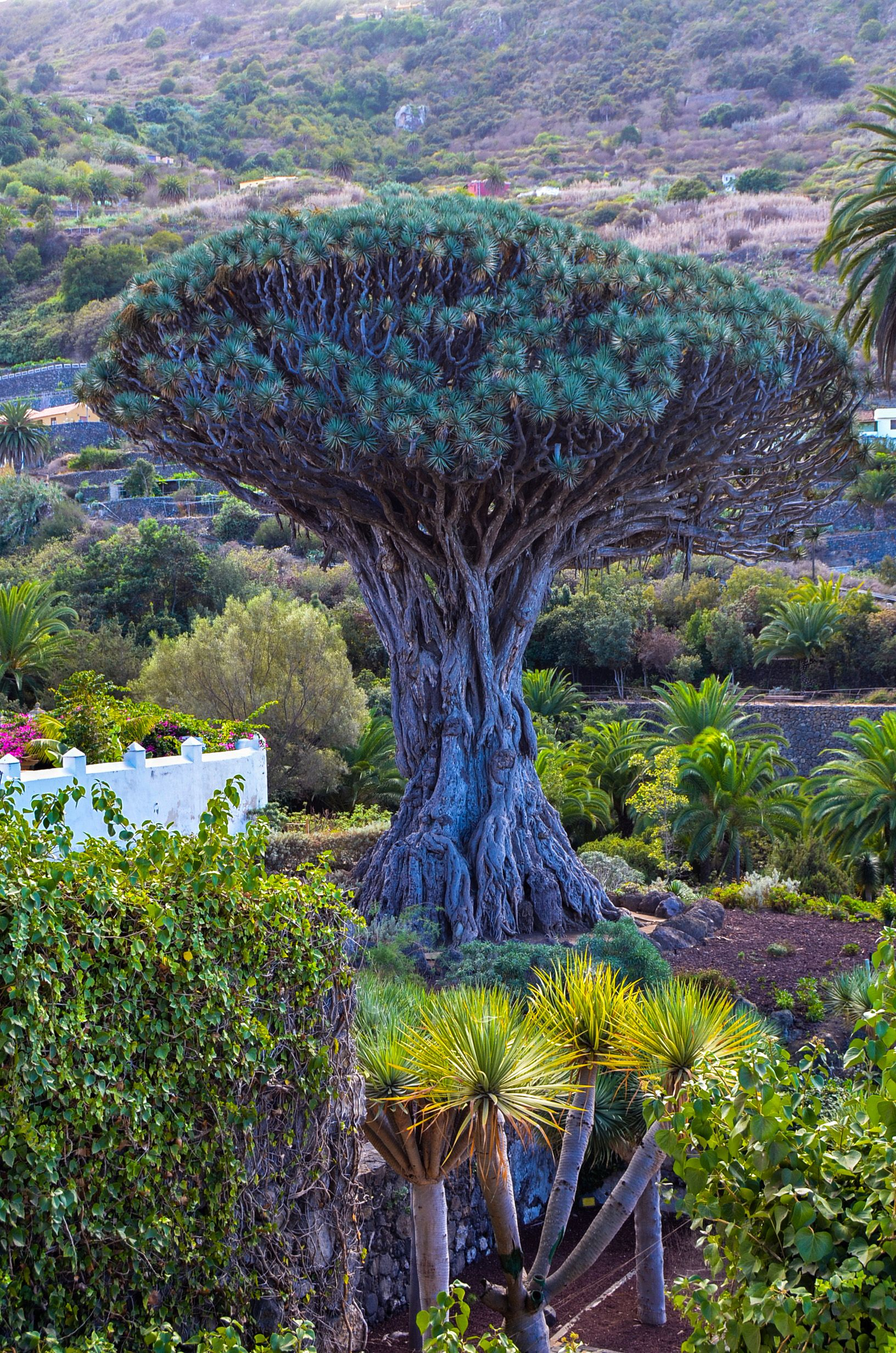 Drago Millenario, Icod de los vinos, Tenerife