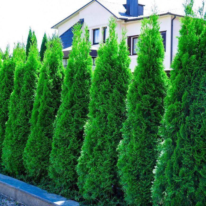 Thuja Occidentalis Smaragd Emerald Green Arborvitae Tree Pot In 2020 Emerald Green Arborvitae Arborvitae Tree Thuja Occidentalis