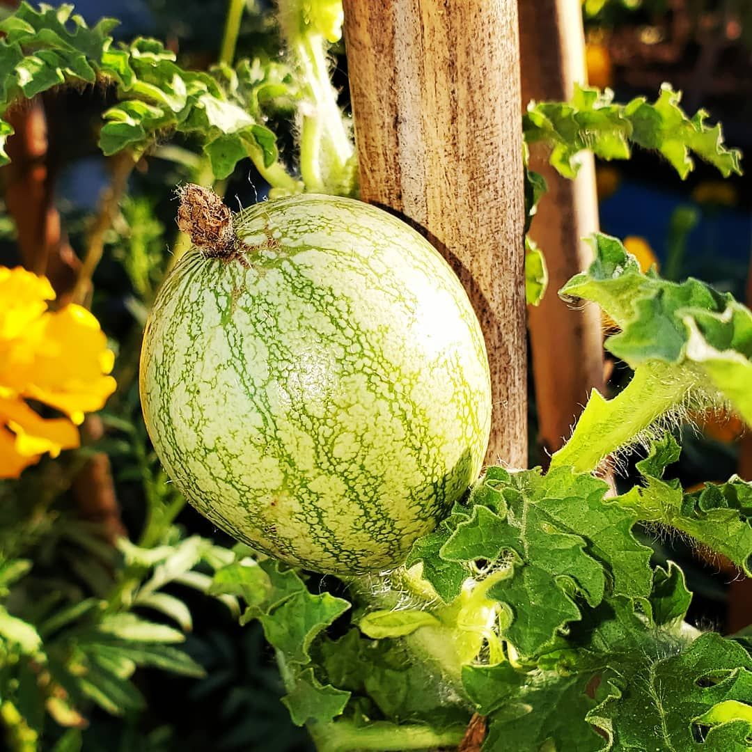 Better late than never? I finally have a mini watermelon that got pollinated. Now its just a race against the cool weather. . . . . .