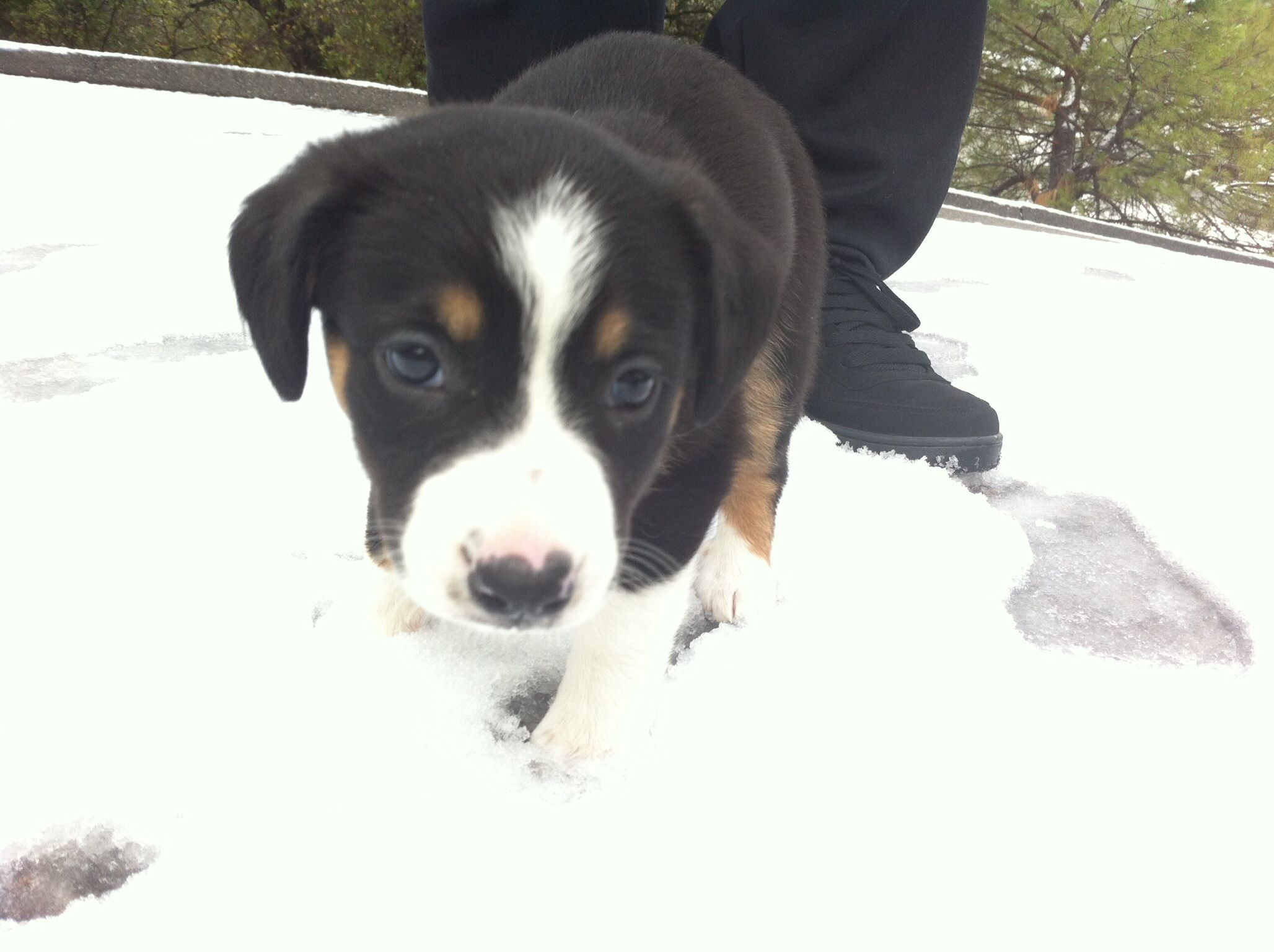 River Border Collie Australian Shepherd Mix 2 Months Old Australian Shepherd Australian Shepherd Mix Animals