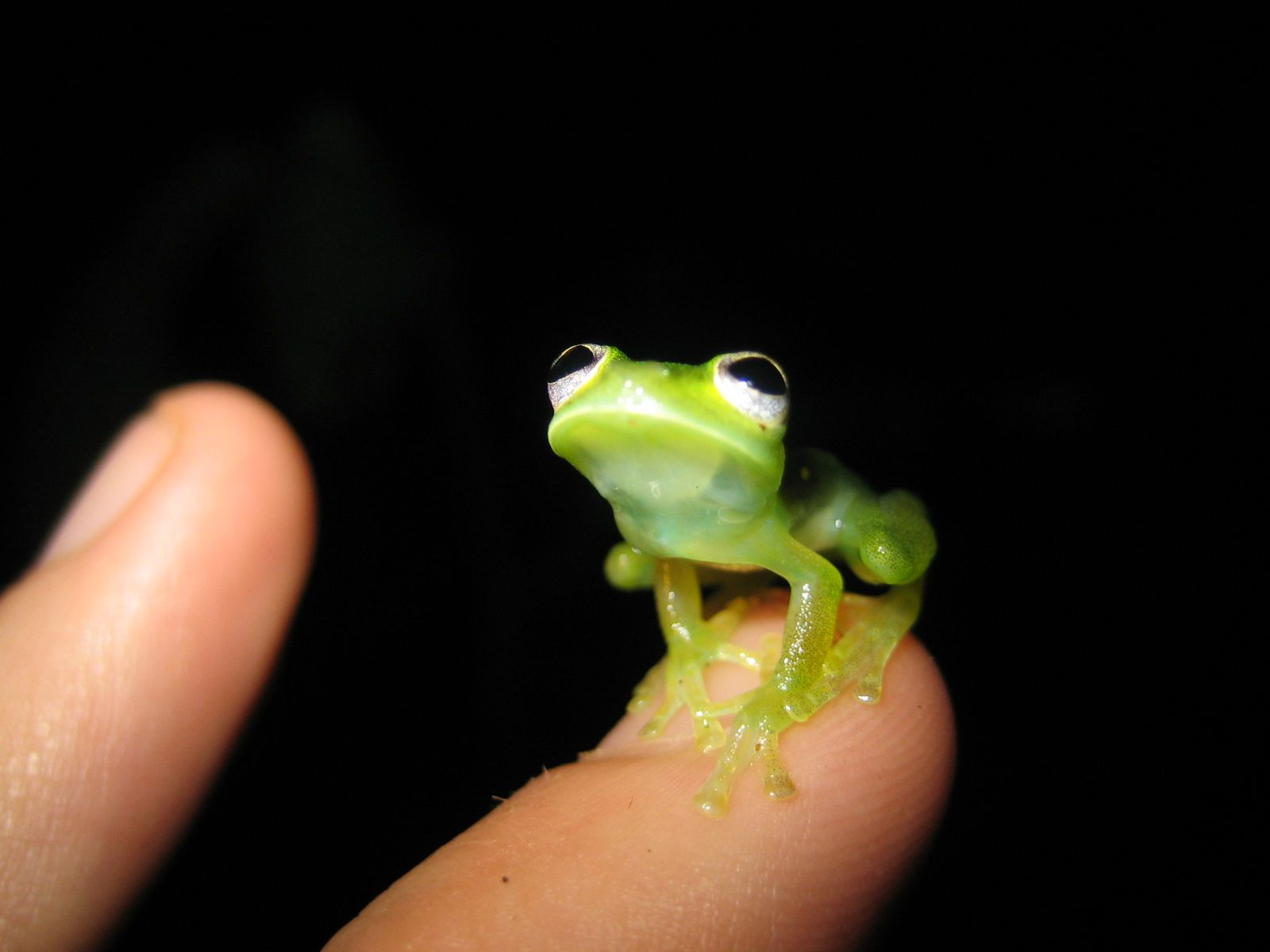 Kermit In Real Life Kermit Frogs And Animal - Real life kermit the frog discovered in costa rica