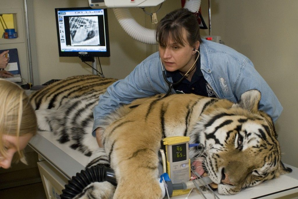 Zoo Vet Technicians Are Particularly Appreciated In The Field Of Veterinary Medicine As They Are Specifi Vet Technician Veterinary Technician Zoo Veterinarian