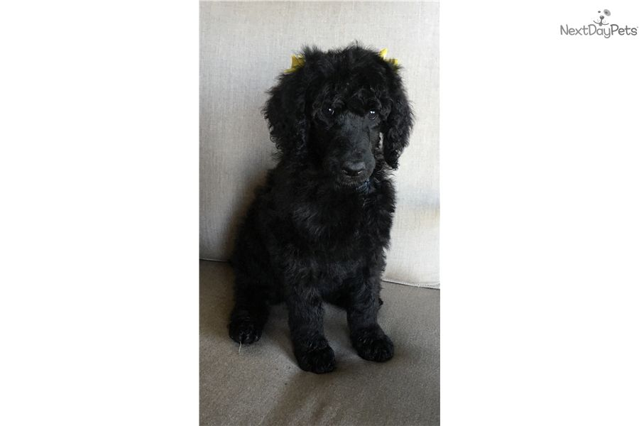 Puppies For Sale Amarillo Texas 2021