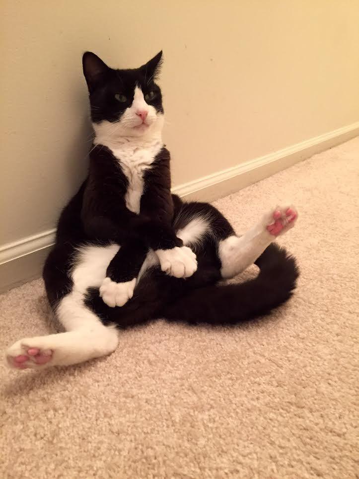 c12d385400d580ea6aebb0ed5225d73b i have a picture of my lazy sitting cat too ift tt 2dgo0yz
