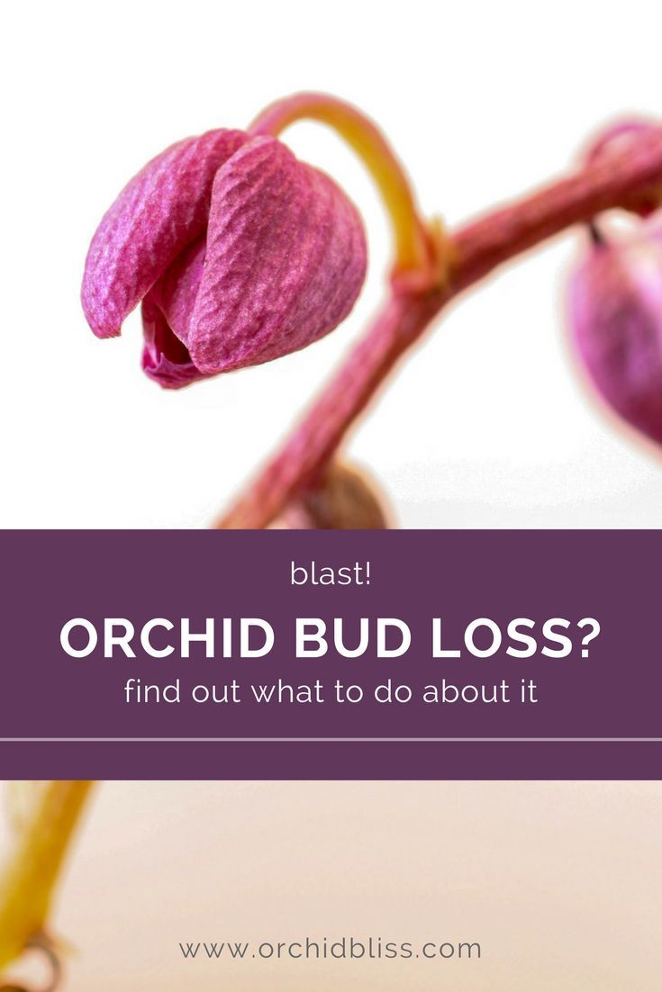 Why Are My Orchid S Buds Falling Off Orchid Bliss Orchid Plants Orchids Indoor Orchids