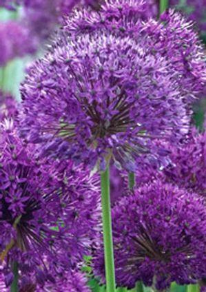 Allium Aflatunense Purple Sensation Blue And Purple Flowers Purple Flowers Planting Flowers