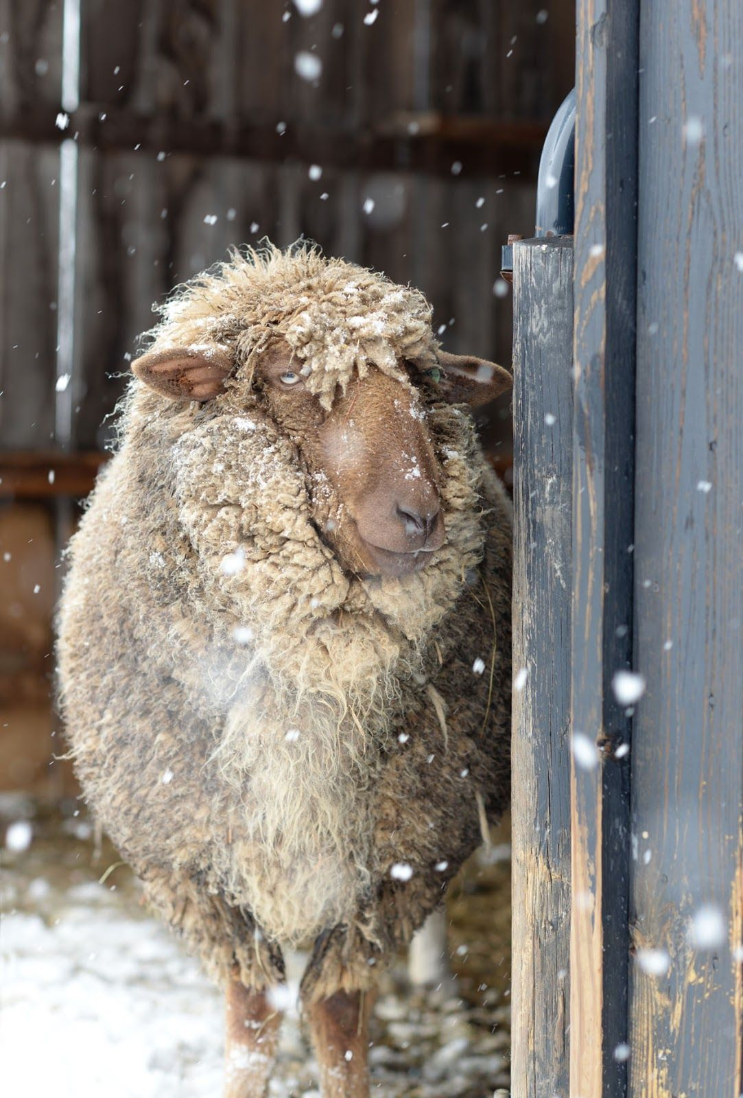 "♥ Punkin's Patch ~ Some Happier Snow Faces ~ ""Chocula"" on March 6, 2016 at Equinox Farm in Cynthiana, Kentucky.  Photo courtesy of Sara Dunham (aka ""The Crazy Sheep Lady"") ♥"