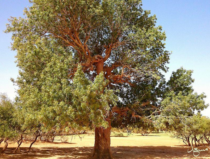 البطمة الفستق الاطلسي مسعد Tree Plants Tree Trunk