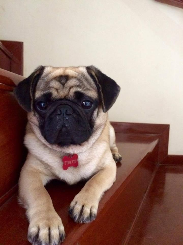 The Best Pug Harnesses Top 5 Picks In 2018 Dog Harness Pugs