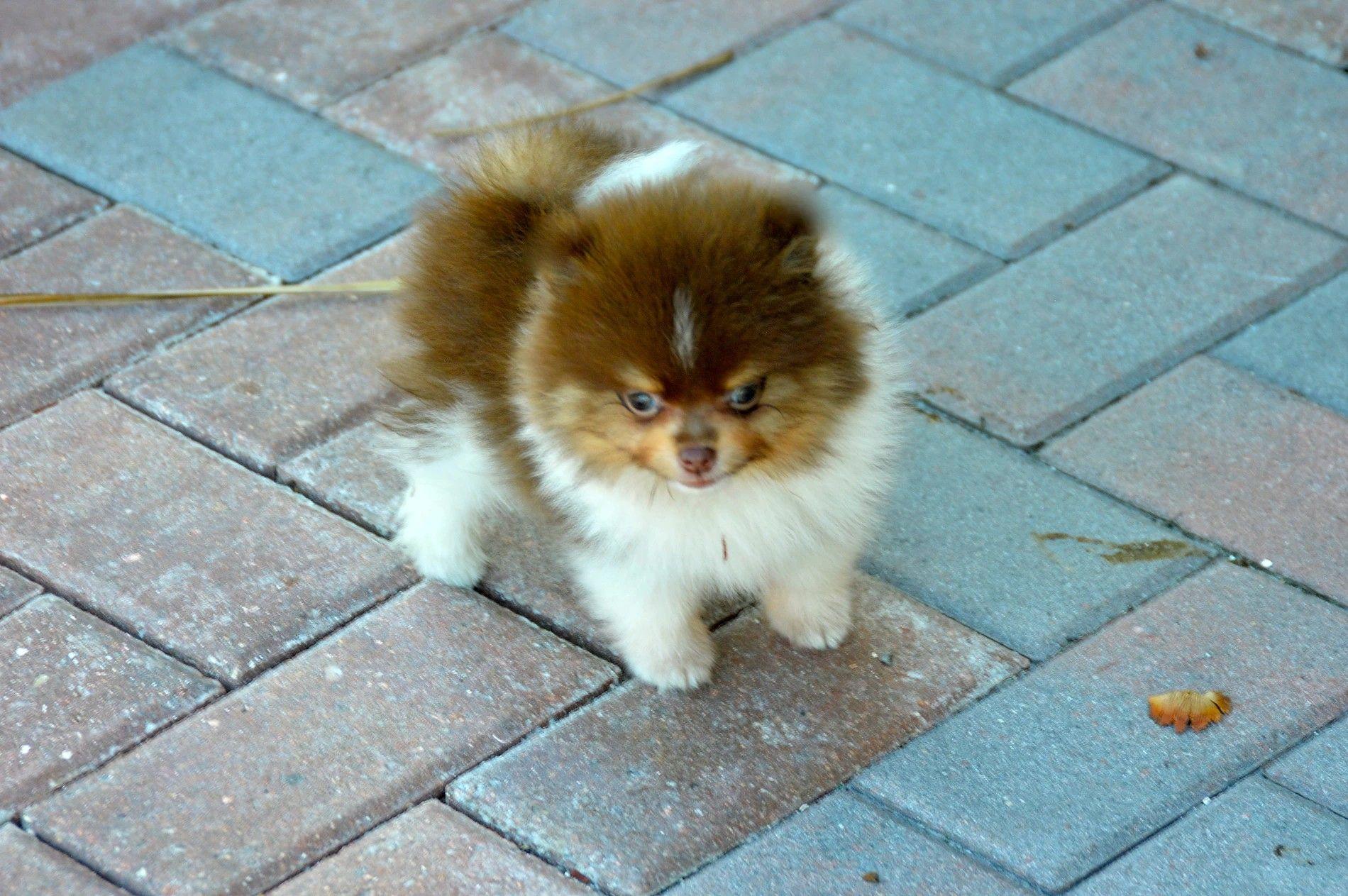 Pin by michelle mainoni on pomeranians puppies