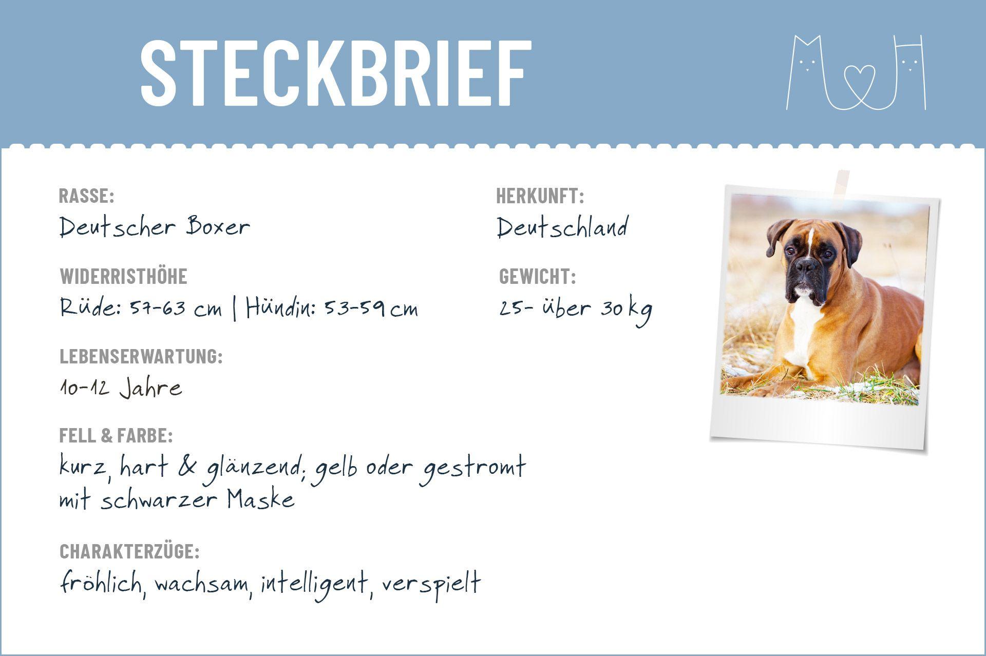Deutscher Boxer Steckbrief Charakter Wesen Haltung Deutscher Boxer Boxer Hund Steckbrief