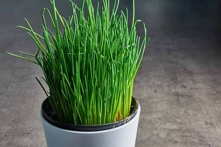 How To Grow Chives In Containers Gardener S Path Growing Chives Chives Plant Allium Schoenoprasum