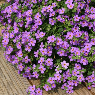 Bacopa Purple Full Sun Trailing Spreading Plant Great In Baskets Or