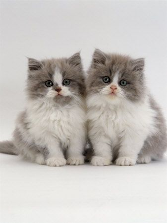 Domestic Cat, 9-Week, Two Persian Cross Lilac Bicolour Kittens