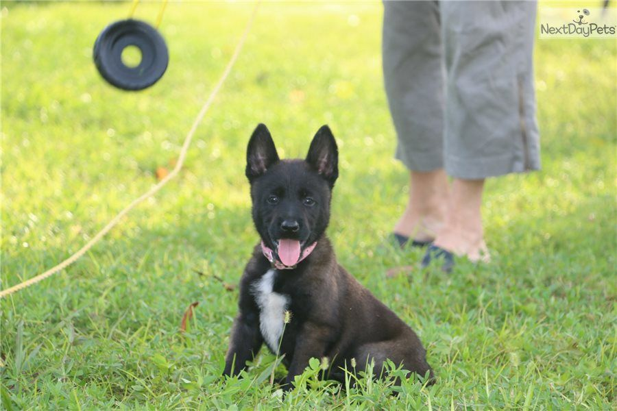 Akiles Belgian Malinois Puppy For Sale Near West Palm Beach Florida F55ff8fa 6e71 Belgian Malinois Belgian Malinois Puppies Malinois Puppies For Sale