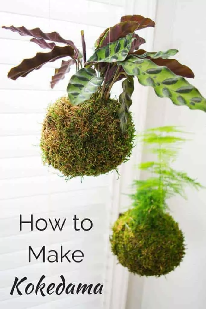 Kokedama, or Japanese moss balls, are easy to make and look amazing hanging in a bright window! Learn how to make your own in this handy tutorial. #kokedama #indoorgardening