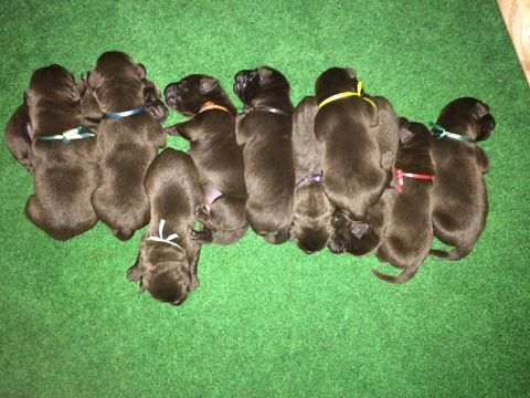 Litter Of 9 Labrador Retriever Puppies For Sale In Chico Ca Adn