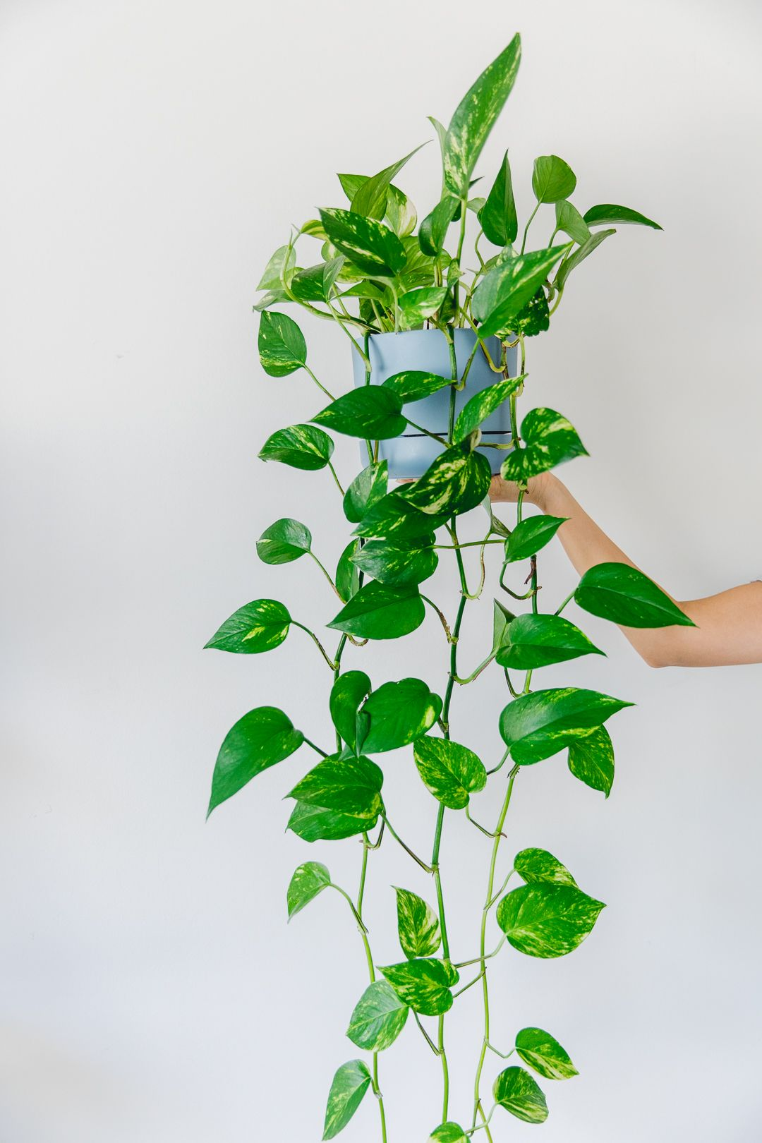 Indoor Plant Guide 5 Beginner Plants You Can T Kill Connie And Luna Best Indoor Hanging Plants Ivy Plant Indoor Hanging Plants