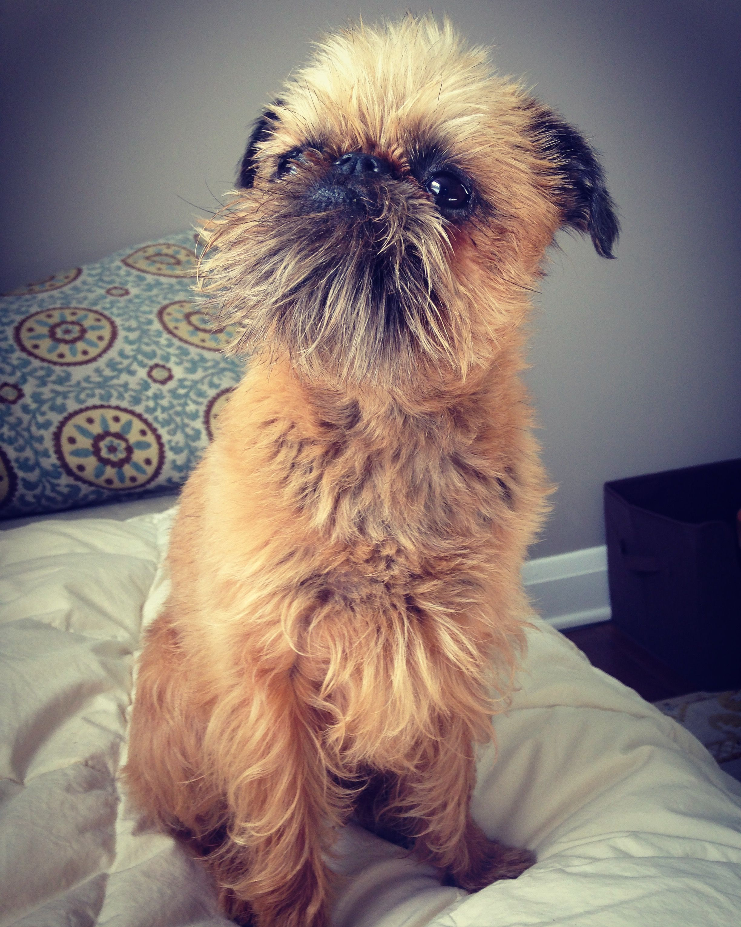 So Cute With Images Brussels Griffon Dog Love I Love Dogs