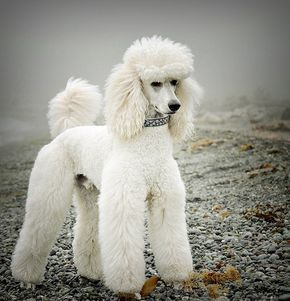 Gunther What a gorgeous snowy white standard poodle! #dogs #poodles