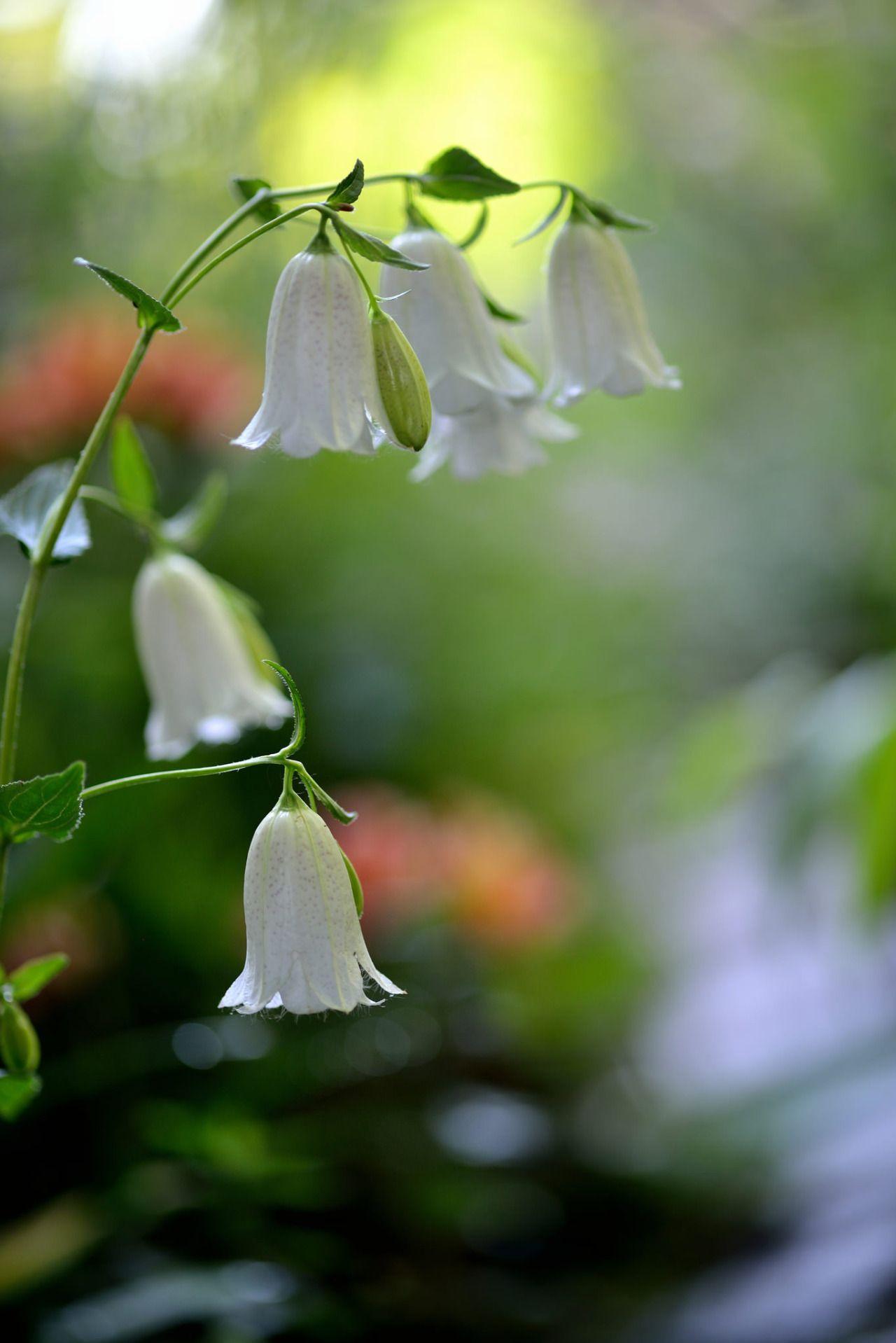 Double flower Bellflower by myu-myu
