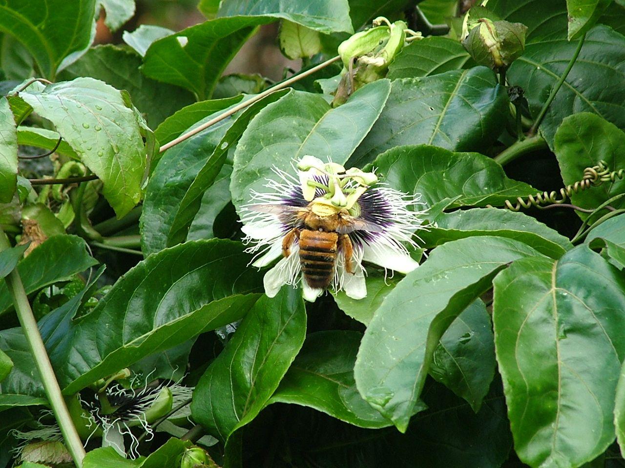 flor de maracujá, no quintal de casa