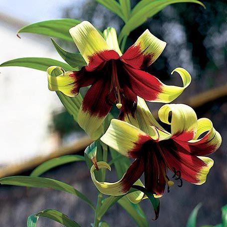 nepal lilie nepalense lilien lilien pinterest pflanzen garten und pflanzen online bestellen. Black Bedroom Furniture Sets. Home Design Ideas