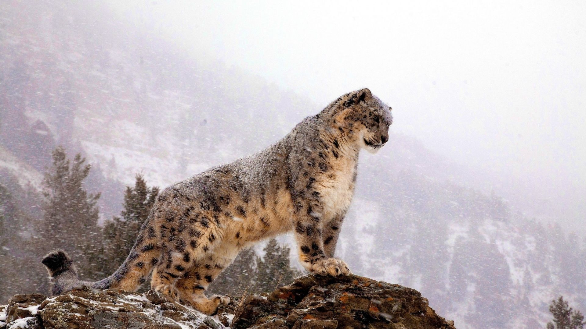 leopard wallpapers backgrounds images freecreatives