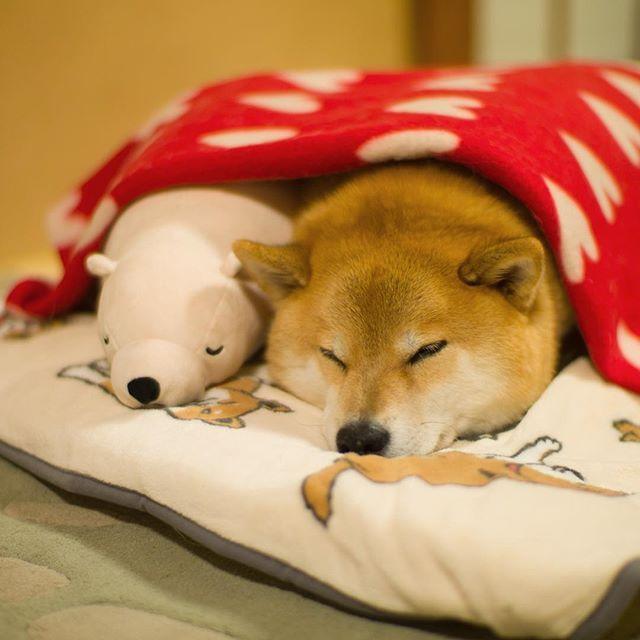 """柴犬, Shiba Inu <3 ~lisa """"See you tomorrow また明日ね〜。仲良く寝ましょう、風邪ひいちゃうからね、まるたんぽの季節が近づいてきてるね"""" (c)"""