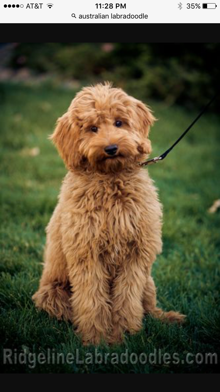 Australian Labradoodle Puppies For Sale From Labradoodle Puppy