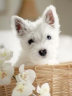 Westie Puppy In A Basket Westie Puppies Westies Cute Animals