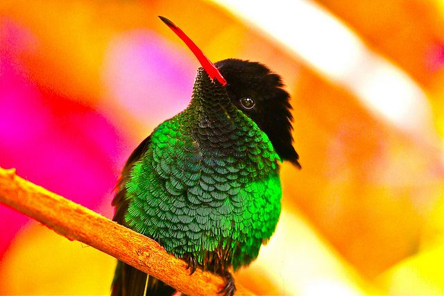 Jamaica National Flower Red Billed Streamertail Jamaica S National Bird The Doctor Bird Red Bill Hummingbird Pictures Bird