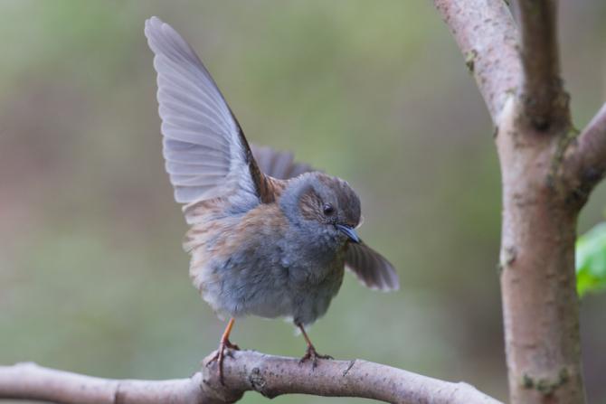 Een baltsende heggenmus in beeld. De Heggenmus, verkozen tot vogel van het jaar, baltsend Dankzij de beelden gevonden op de site van Arnold Meijer, hebben wij zeer mooie foto's die …