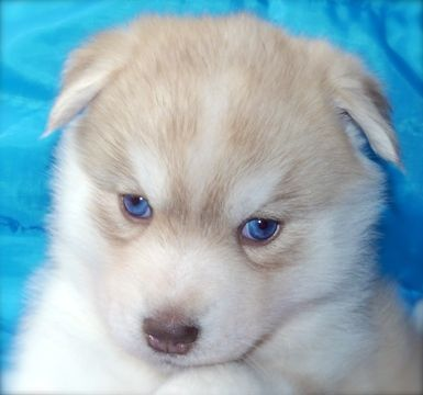 Siberian Husky Puppy For Sale In Tulsa Ok Adn 50740 On