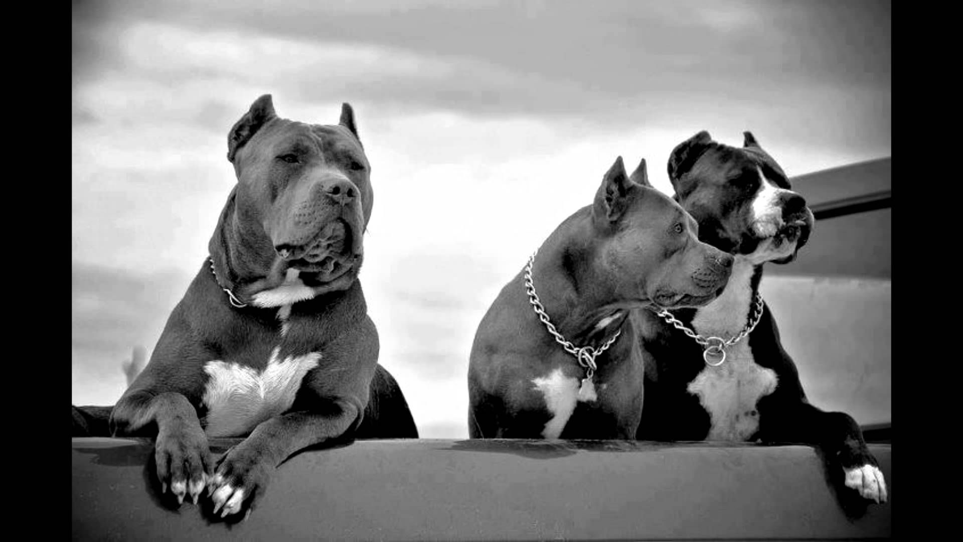 pit bull wallpaper  Puppy Pitbull Wallpaper Android Apps on Google Play ×   HD ...