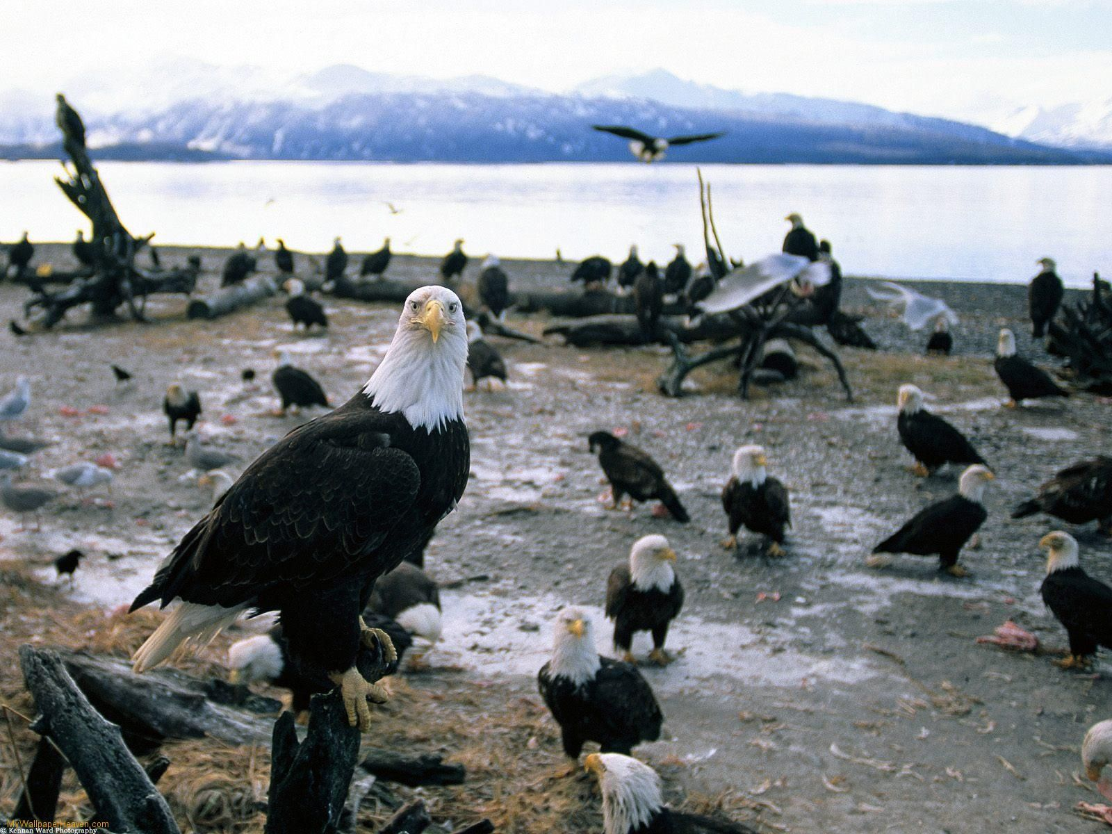 1070 best eagles the american spirit images on pinterest bald alaska and the bald eagles biocorpaavc