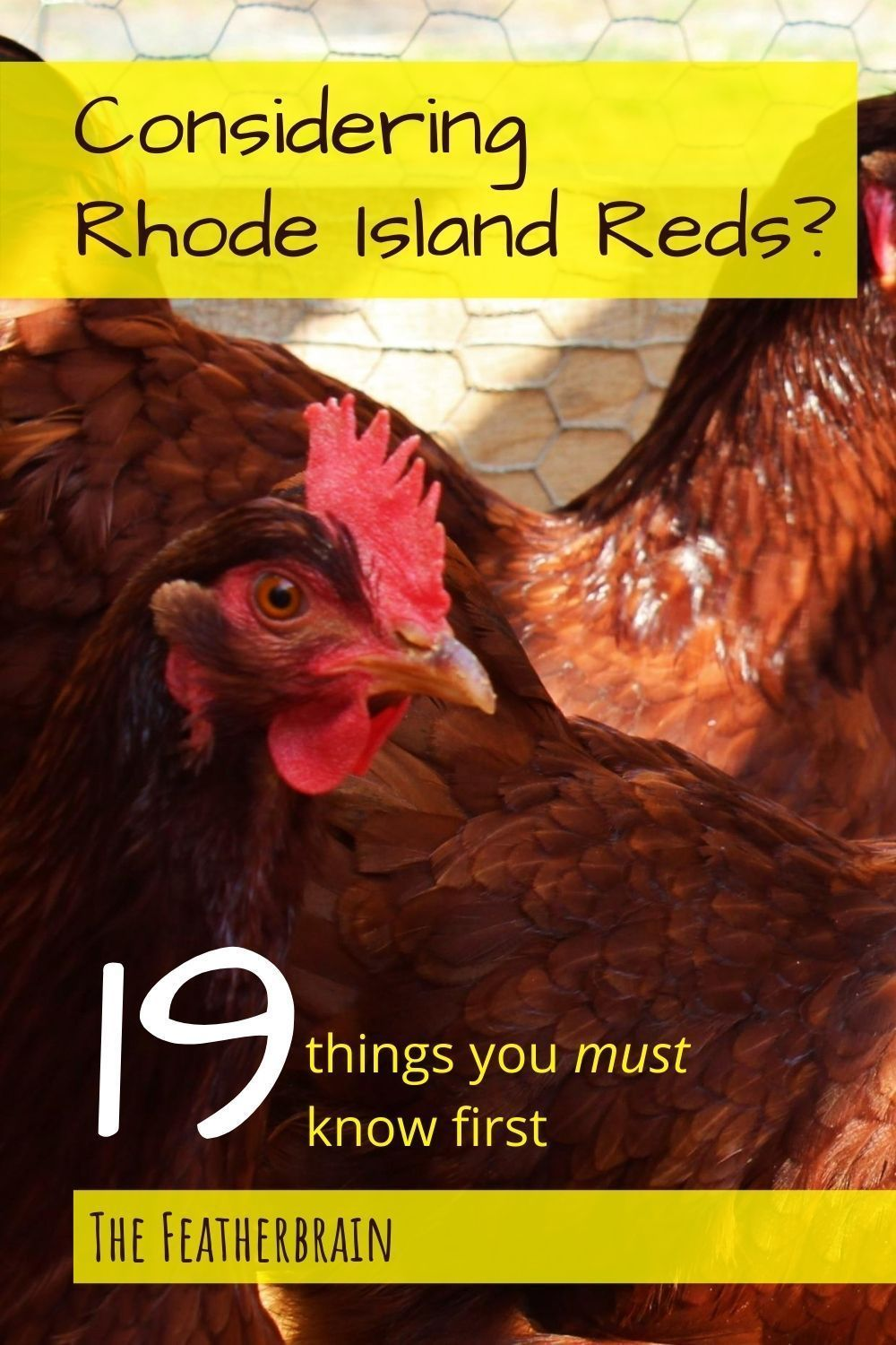 Rhode Island Red chickens: Everything you need to