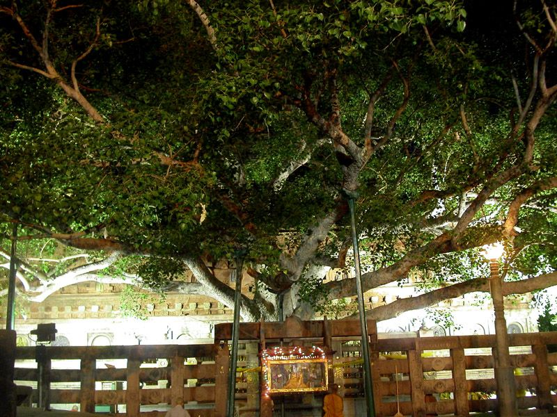 The 4th generation descendent of the bodhi tree the Buddha attained enlightened under--India.