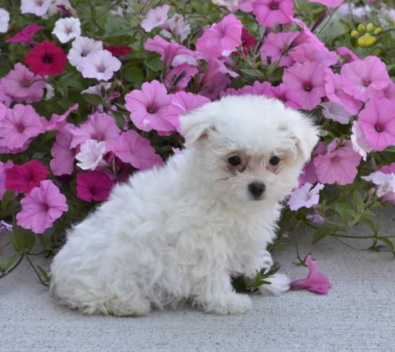 Kyle Bichon Frise Puppy For Sale In Dundee Oh Lancaster Puppies Bichon Frise Puppy Lancaster Puppies Puppies