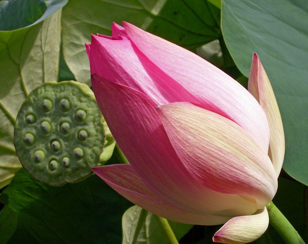 Lotus Flower And Seed Pod Lotus Flower And Lotus