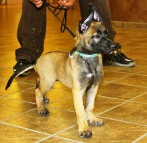 Belgian Malinois Puppies Virginia Cute Puppies Military Working Dogs Army Dogs Military Dogs