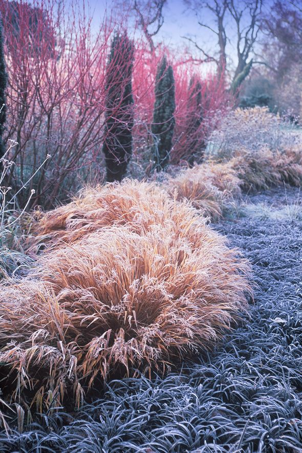 """Winter Garden - Adrian created a """"black sea"""", with a breaking wave of Hakonechloa. The red Cornus stems are highlighted by dark green Taxus pillars and autumnal tones of the grass - Bressingham Gardens photos by Richard and Adrian Bloom -"""