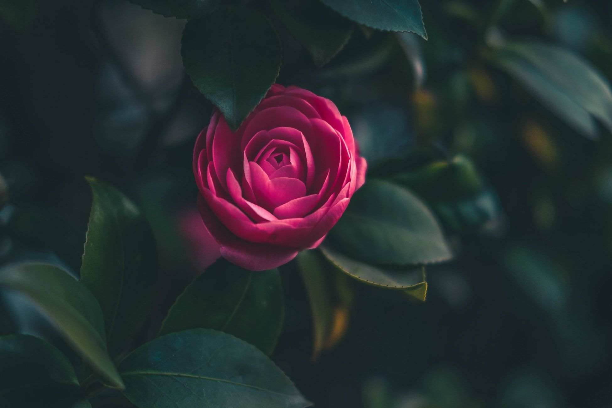 Our Inspiration The Icon Of British Bloom Is Inspired By The Camellia Flower The History Of This Flower Goes Back To Bloom Rose Types Of Red Wine