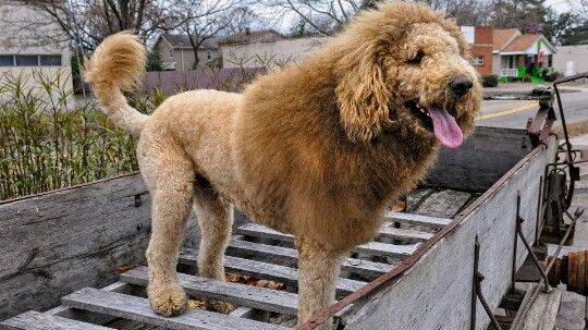 Pin On I Love Goldendoodles